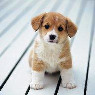 Sir_Pup